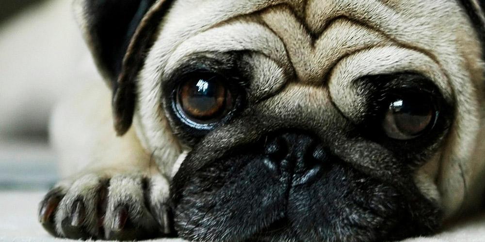 diseno web piensoycama tienda productos mascotas 02 1000x500 - Diseño de tiendas online con Prestashop: Pienso y cama